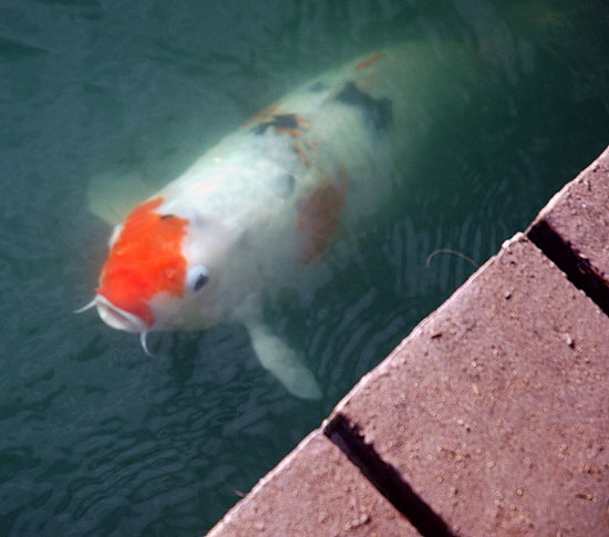 Nightmare fish for Ornamental carp