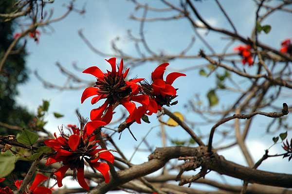 Coral tree - Erythrina x sykesii - 19 January 2006