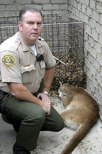 Mountain Lion, Altadena, 27 February 2006