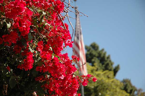 Hollywoodland, bougainvillea and the flag ...