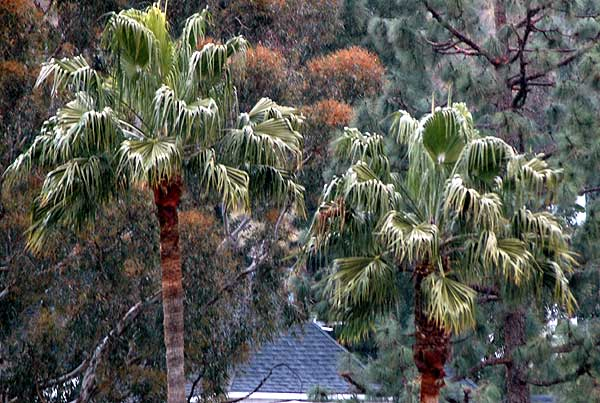 Basic palm trees - March 7, 2006 from the window -