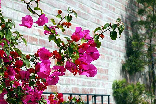 Bougainvillea at Malaga Cove Plaza -