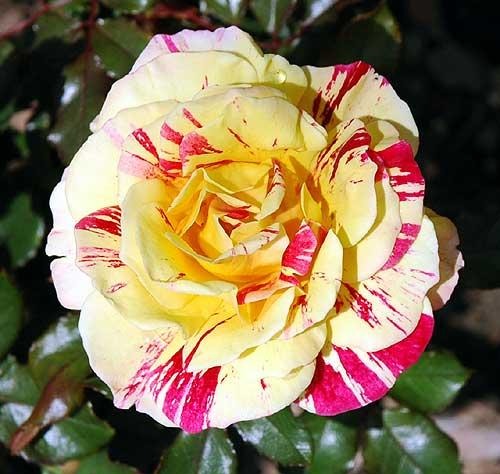 Rose in Beverly Gardens Park