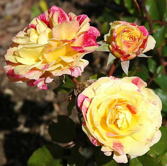 Roses in Beverly Gardens Park
