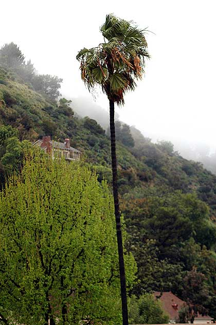 Palm tree, rain, fog, Laurel Canyon