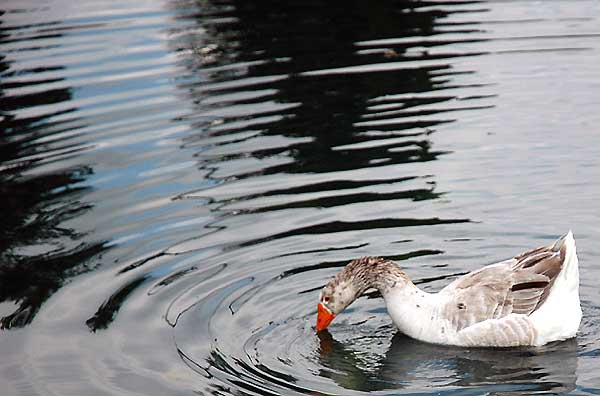 Goose in pond, ripple study