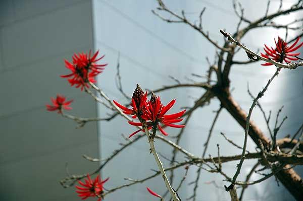 A coral tree - Erythrina x sykesii -