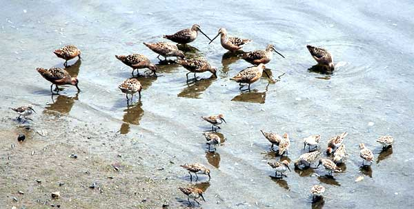 These are not Marbled Godwits...