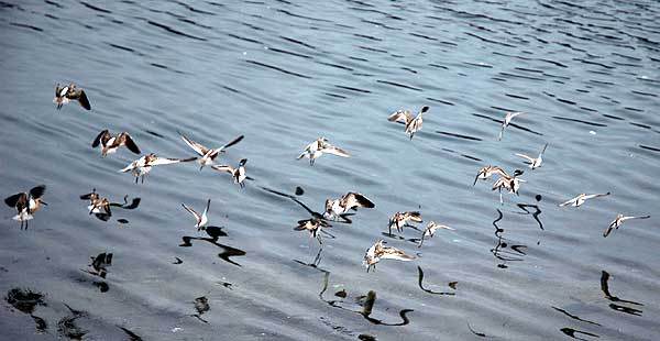 These are not Marbled Godwits in flight...