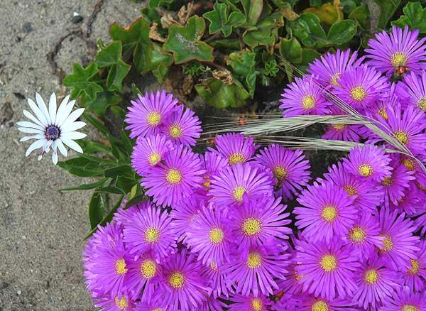Ice Plant - carpobrotus edulis - in bloom