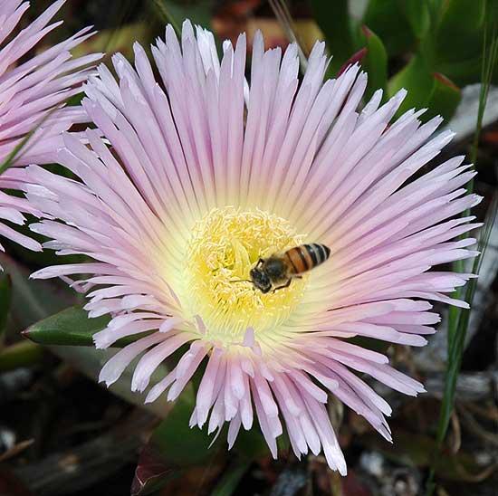 Bee inside carpobrotus edulis blossom...
