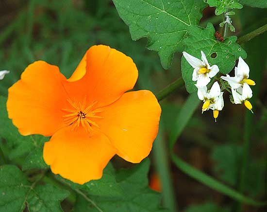 Wildflowers, Solstice Canyon Park, Malibu