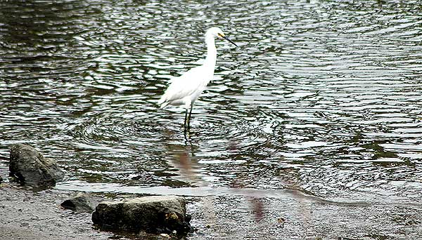 Egret, Venice California, Thursday, May 18, 2006