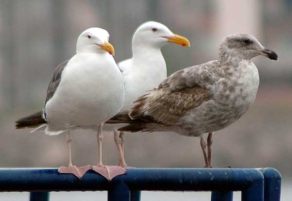 Gulls, Venice California