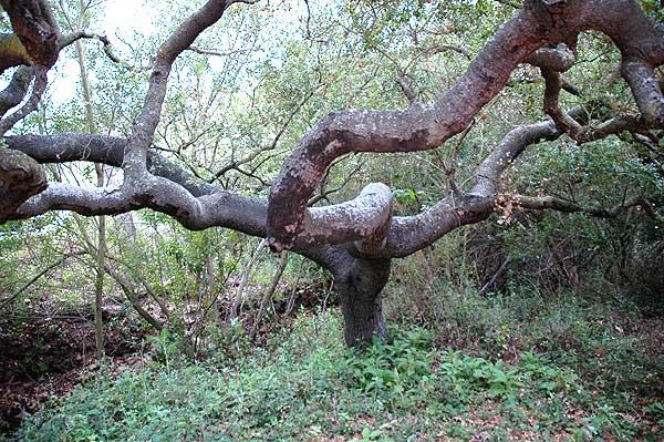 Coastal oak, Solstice Canyon Park, Malibu