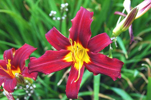 Hollywood and La Brea, daylily in bloom