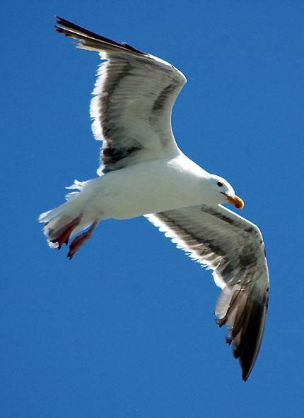 Gull in flight...