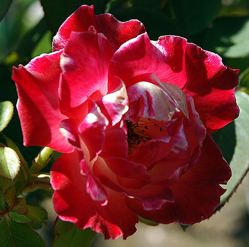 Rose in bloom in Hollywood, July 2006
