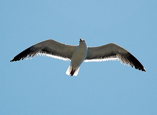 Gull in flight...