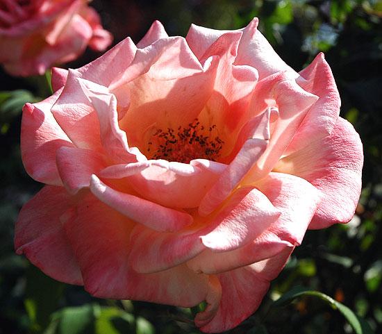 Rose in early morning light...