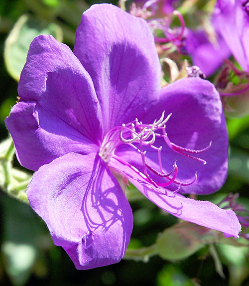 Purple bloom in early morning light...