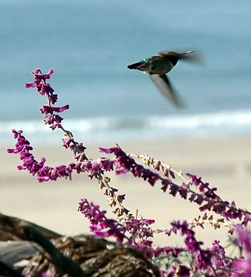 Hummingbird, Santa Monica, 15 December 2005