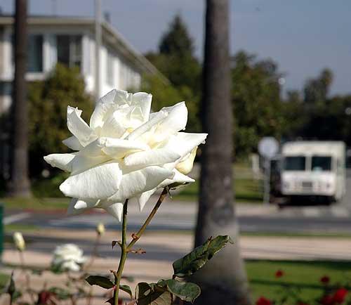 Rose, Santa Monica, 15 December 2005