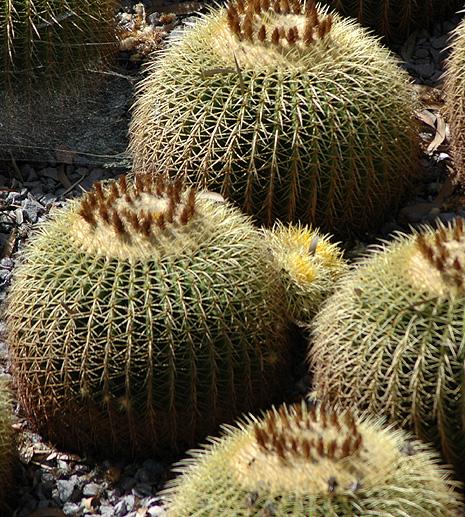 Cacti - in balls