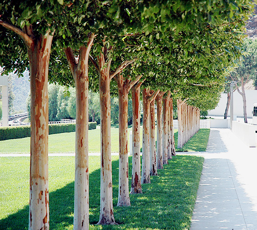 A row of plane trees -