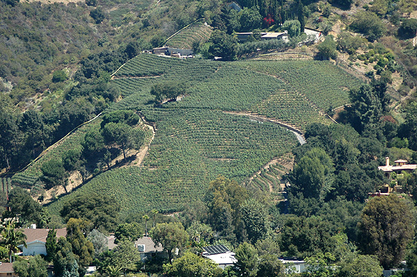 The only vineyard in Beverly Hills...