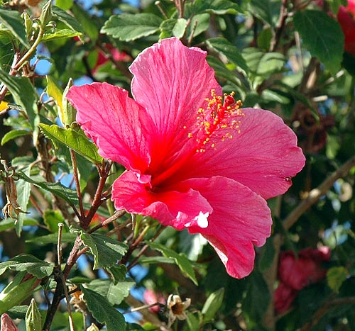 A nearby hibiscus...