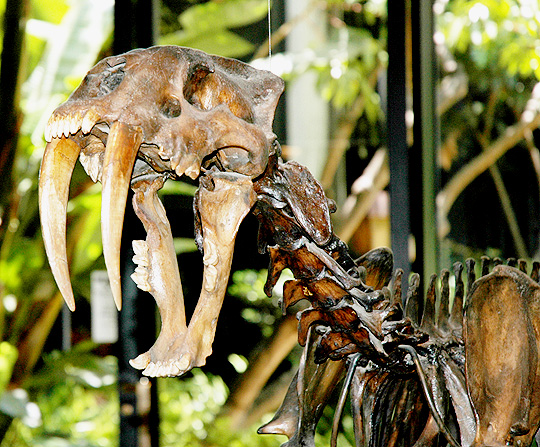 Smilodon Californicus, Page Museum
